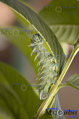 Beautiful caterpillar eating a leaf