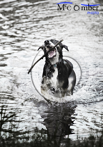 Stock photo: Dog catching a stick in water