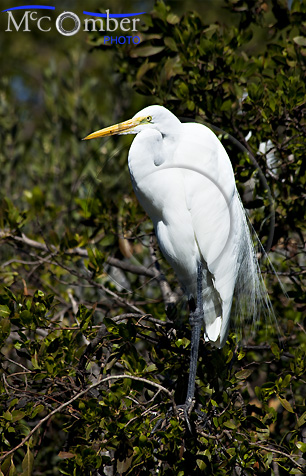 Great White Heron at rest