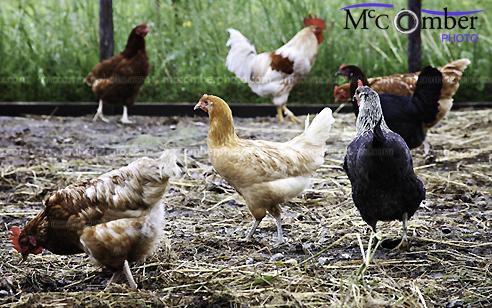 Poultry in captivity