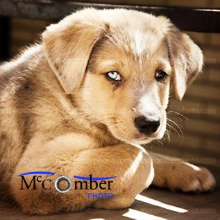 Mixed breed Labrador retriever puppy
