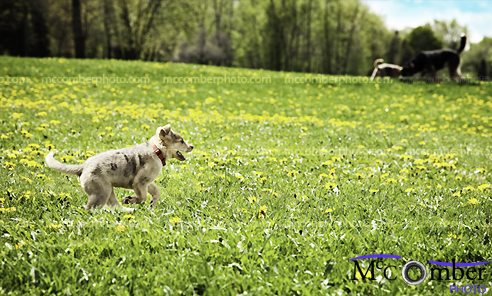 Puppy dog running in meadow