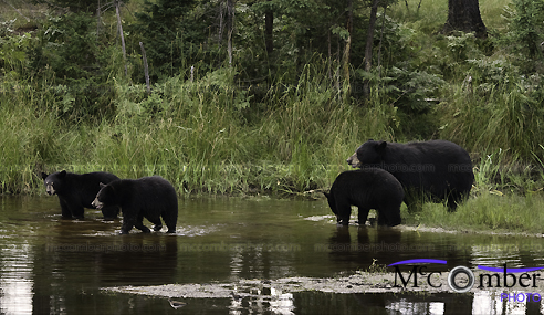 Family of black bears crossing a stream