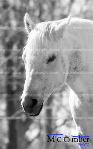 White horse head in black and white