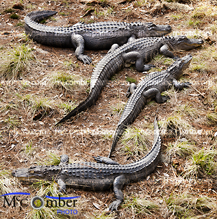 Stock photo: Family of alligators from above