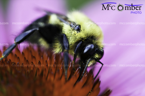 Stock photo: Bumblebee feeding off an echinacea