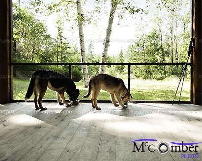 Two dogs feeding in rural scene