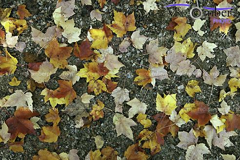 Wet Autumn leaves on ground