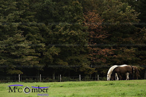 Three horses grazing in front of lush forest