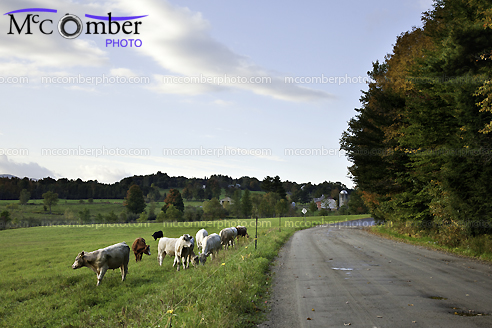 Monteregie Fall Landscape with Cattle