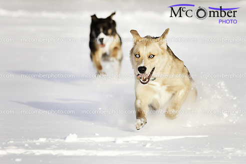 Two dogs running in the snow
