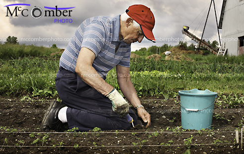 Senior farmer tending his carrots