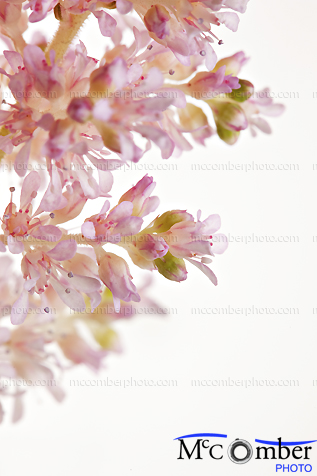 Featured Stock Photograph: Pink Meadowsweet Flowers Close-up