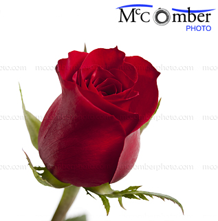 Stock photo: Fresh Red Rose Bud Close-up