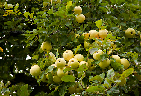 Organic Apples in tree