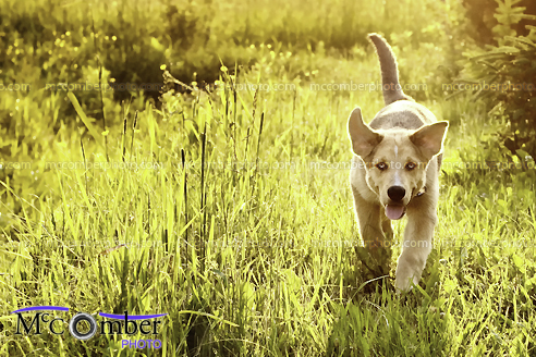 Stock Photograph - Happy dog in Golden Field