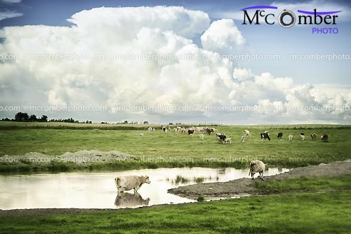 Stock Photograph - Cows under huge cumulonimbus cloud