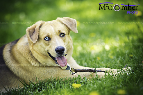 Stock Photo - Happy dog in grass