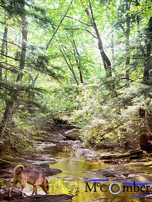 Stock Photograph - Dog drinking from a stream in Canadian Forest
