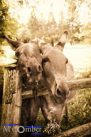 Stock Photo - Two cute donkeys in sepia
