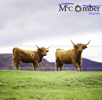 Stock Photograph - Highland Cattle on top of the Hill