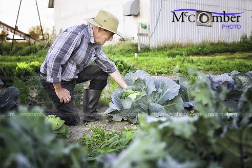 Stock Photo - Senior Farmer Growing Organic Cabbage