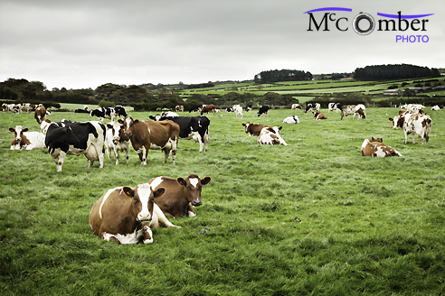 Stock Image: Holstein Cows in Wales